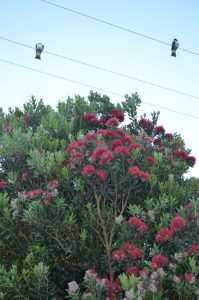 Kereru on powerlines above pohutukawa tree